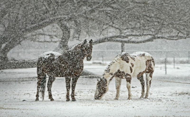 Pferde im Winter auf der Weide - Schneefall