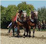Aus welchem Land kommt das Muraköser Pferd?