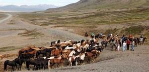 Eine Pferdeherde auf Island