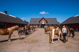 Gemeinsames aufsatteln der Pferde vor dem Ausritt