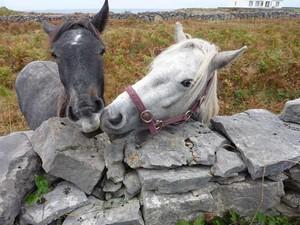 Glückliche Pferde in Irland