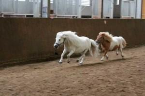Wettreiten zwischen zwei Ponys
