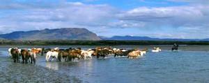 Mit den Islandpferden im Wasser