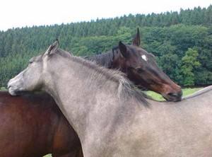 Sozialleben der Pferde