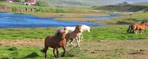 Reiterreisen und Reiturlaub auf Island