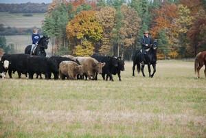 Viehauftrieb zur Winterweide