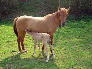 Pferdestute mit Fohlen
