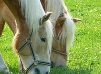 Pferde auf dem Reiterhof Reifenscheid
